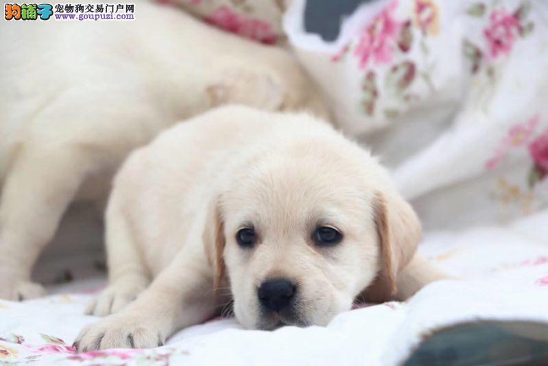 尊宠犬舍长期出售纯种拉布拉多犬多少钱