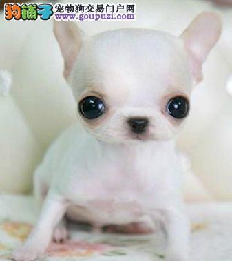精品宠物繁殖基地长期出售纯种吉娃娃多少钱