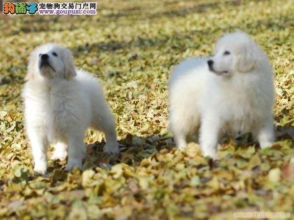 精品宠物繁殖基地长期出售大白熊,大白熊多少钱