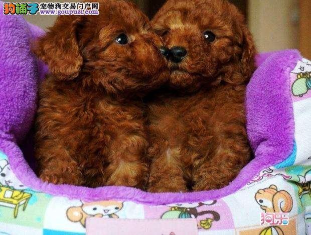 精品宠物繁殖基地长期出售泰迪 泰迪多少钱