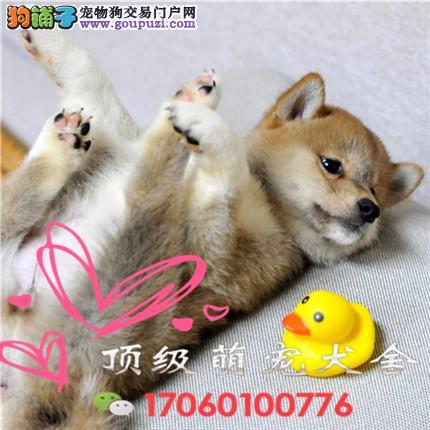 官方保障|犬舍繁殖柴犬 包纯种健康养活 送货上门