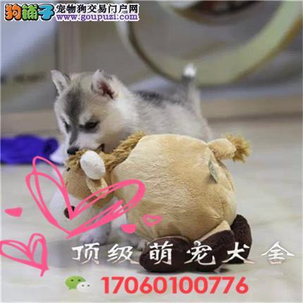 官方保障|犬舍繁殖哈士奇 包纯种健康养活 送货上门
