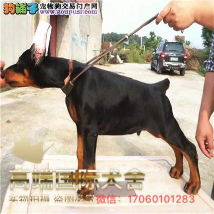 官方保障|犬舍繁殖纯种杜宾犬 纯种健康养活 可签协议