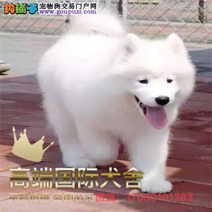长期繁殖萨摩耶犬 各类纯种名犬 包养活签协议