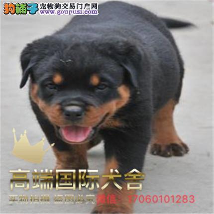 纯种带证罗威纳犬出售,支持来犬舍选购支持送货上门
