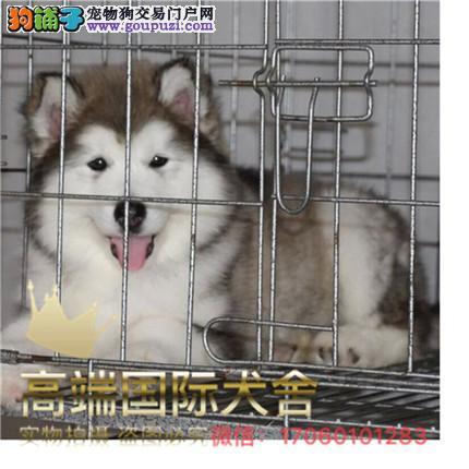 犬舍直销纯种阿拉斯加 纯种健康养活 可签协议