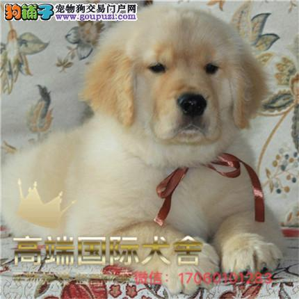 官方保障|犬舍繁殖纯种金毛纯种健康养活 可签协议