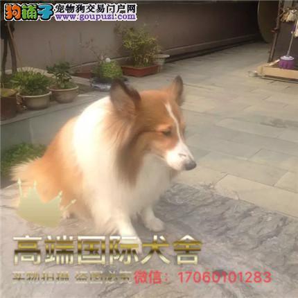 纯种带证苏牧犬出售,支持来犬舍选购支持送货上门