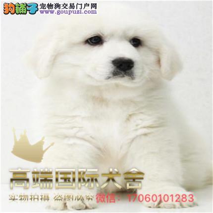 官方保障|犬舍直销纯种大白熊 纯种健康养活 可签协议