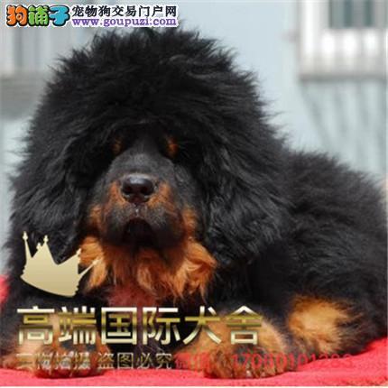 官方保障|犬舍繁殖纯种藏獒, 纯种健康养活 可签协议