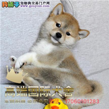 纯种带证柴犬出售 支持来犬舍选购支持送货上门
