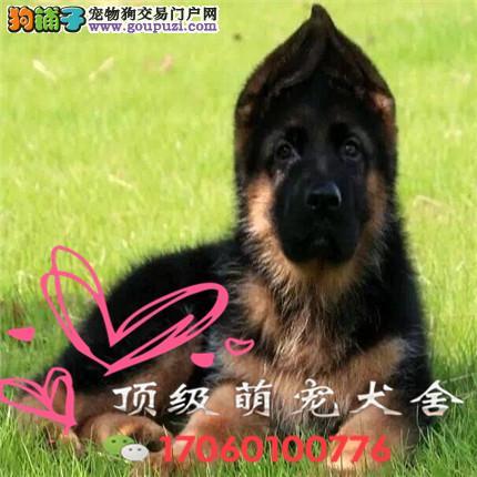 CKU认证犬舍出售高品质德牧全国当天发货