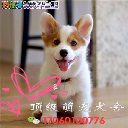 CKU认证犬舍出售柯基全国当天发货