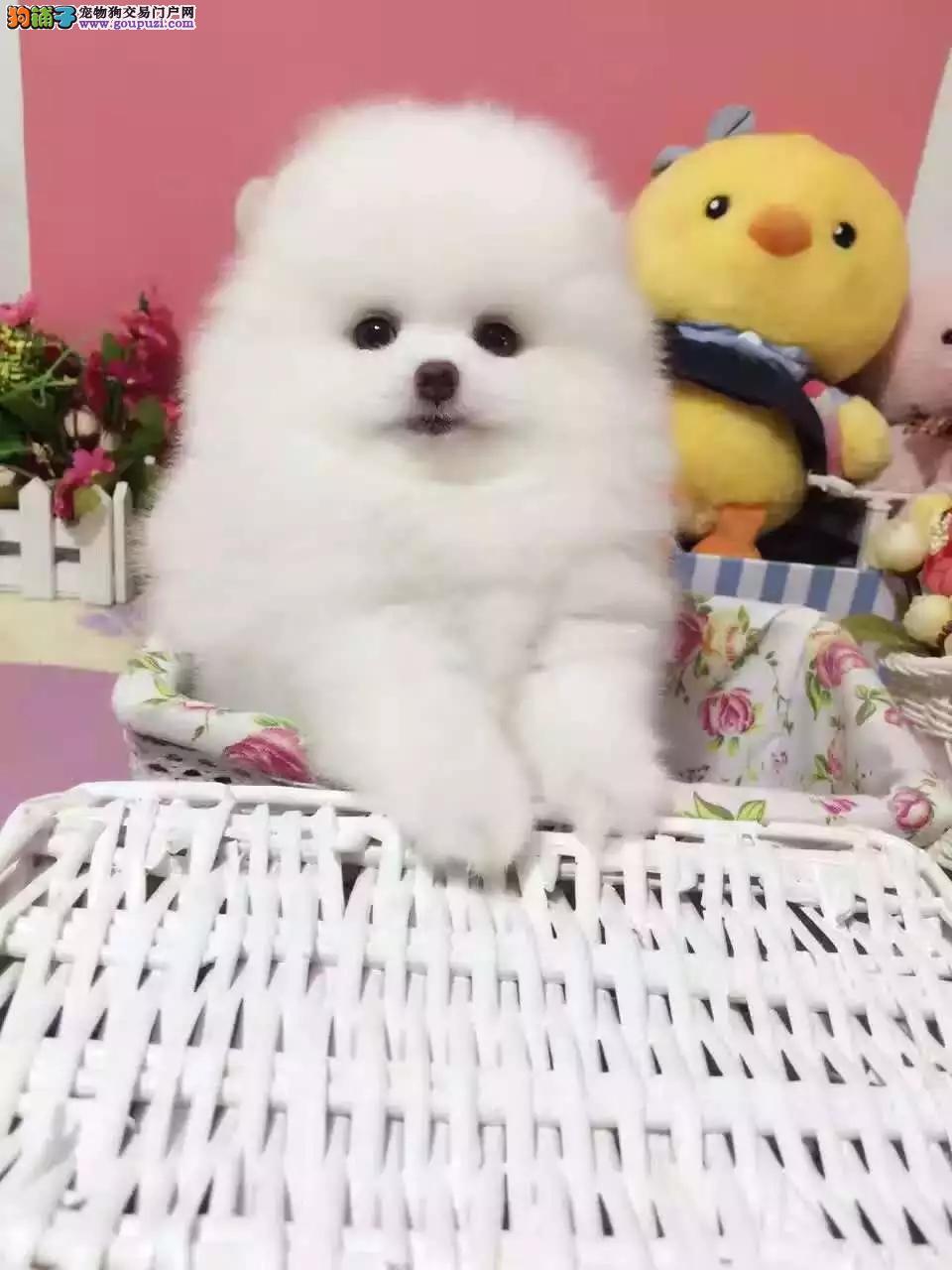 天津哈多利版小体博美犬 俊介幼犬、包纯种健康 可送