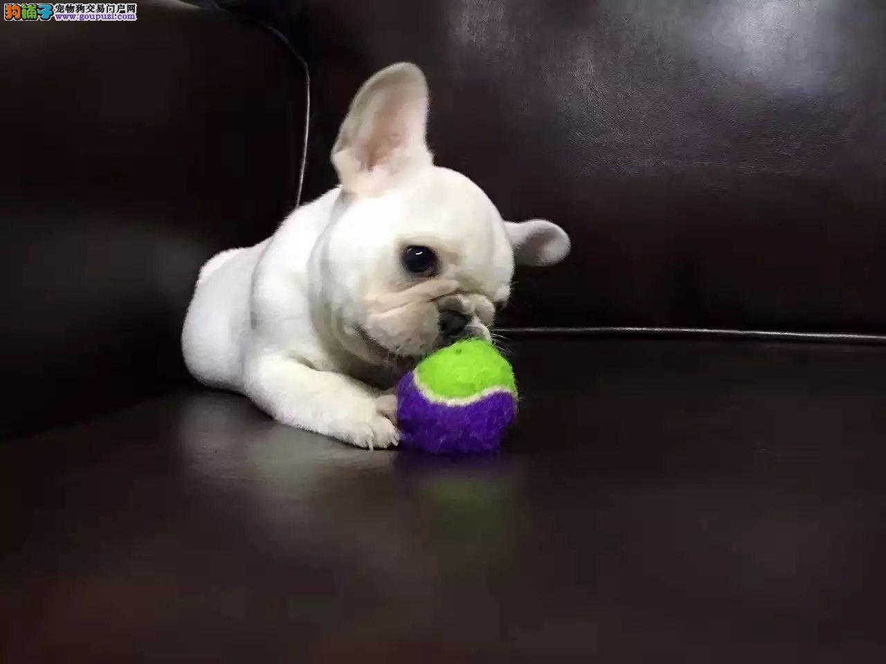 天津法国斗牛犬出售,多只可选,疫苗齐全,可上门选狗