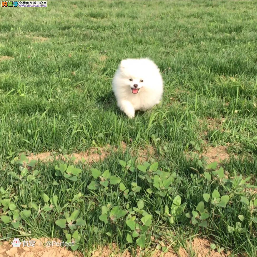 超萌白博美俊介球体小体幼犬自家养的健康有保证