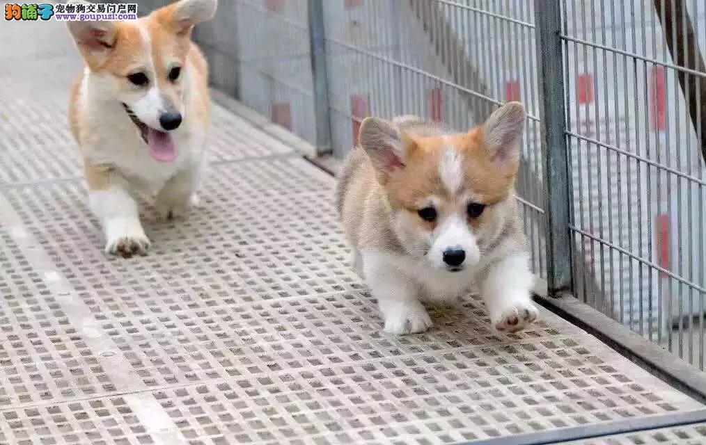 常德精品纯种柯基犬幼犬出售健康保障疫苗齐全可上