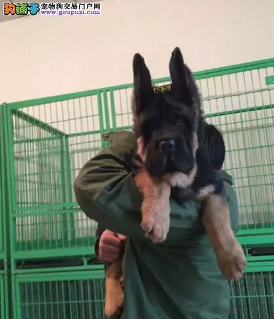 出售纯种德国牧羊犬弓背弯腿 德牧幼犬宠物活体