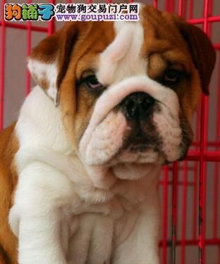 犬舍出售纯种英牛幼犬 三针疫苗两次驱虫做齐保健康