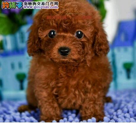 犬舍出售纯种贵宾幼犬 健康1年质保!!!