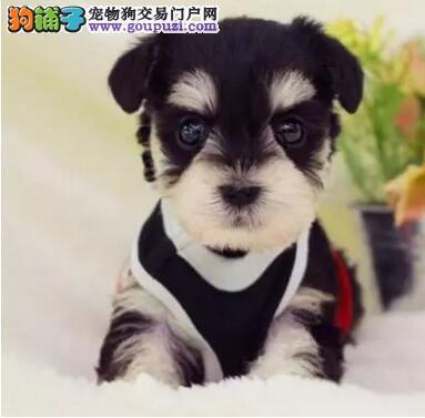 犬舍出售纯种雪纳瑞幼犬 三针疫苗两次驱虫做齐保健康