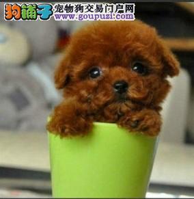 犬舍出售纯种茶杯犬 三针疫苗两次驱虫做齐保健康