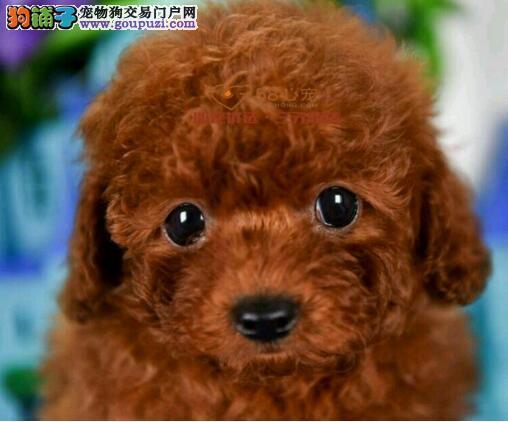 犬舍直销精品泰迪幼犬 防疫做齐 签协议 包售后 教喂养