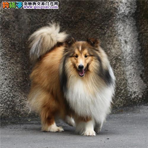 13182559965聪明好训练苏格兰牧羊犬犬舍经营多种名犬