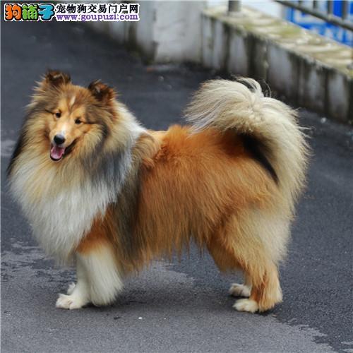 犬舍经营多种名犬13182559965聪明好训练苏格兰牧羊犬