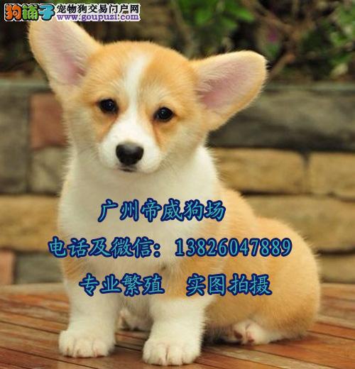 广州买都是去哪里好 广州哪里有卖纯种柯基犬