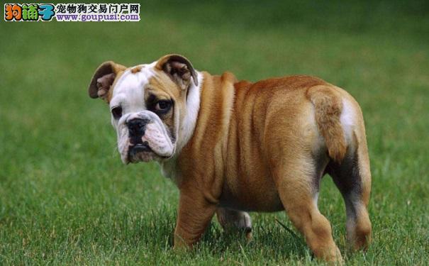 英国斗牛犬和法国斗牛犬有哪些不同之处7