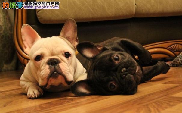英国斗牛犬和法国斗牛犬有哪些不同之处8