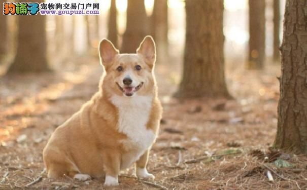 柯基犬是一种什么样的狗狗呢5