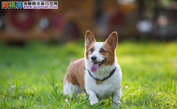 柯基犬是一种什么样的狗狗呢6