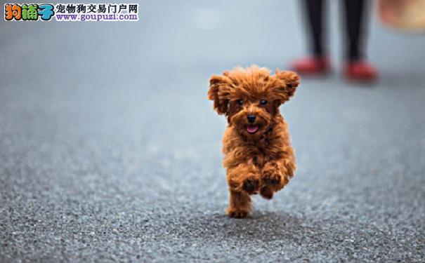 茶杯犬生活习惯相关信息大揭秘5
