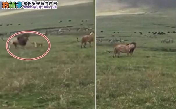 狗狗发动攻击还咬公狮子的鬃毛 狮子的反应引网友热议5