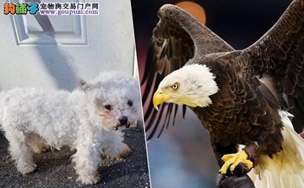 狗被老鹰叼走主人心都凉了 没想到它竟这样奇迹逃生7