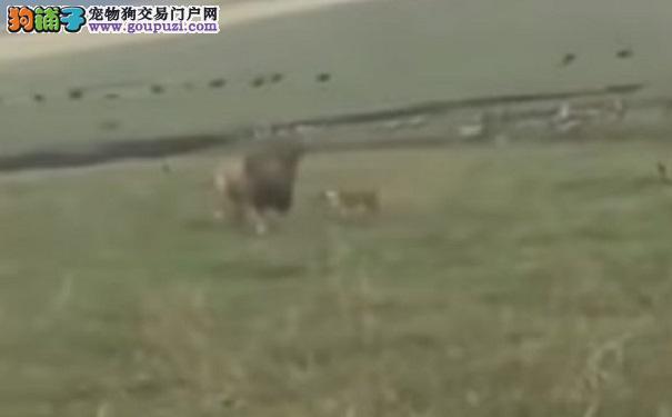 狗狗发动攻击还咬公狮子的鬃毛 狮子的反应引网友热议6