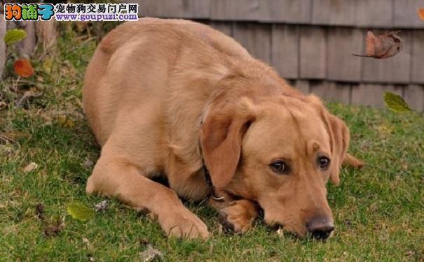 拉布拉多犬过于肥胖怎么办呢5
