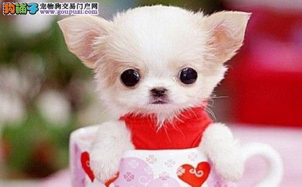 茶杯犬的日常护理6