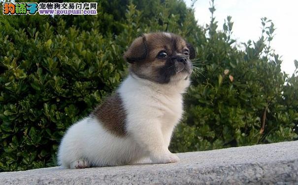 养中华田园犬做宠物有哪些需要注意事项6