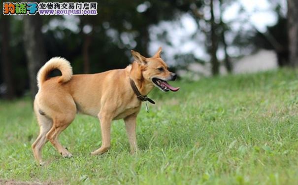 养中华田园犬做宠物有哪些需要注意事项5