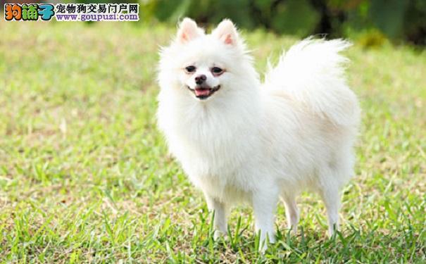 博美犬常见疾病有哪些?5