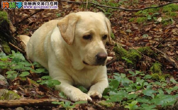 拉布拉多犬受伤了,怎么处理6