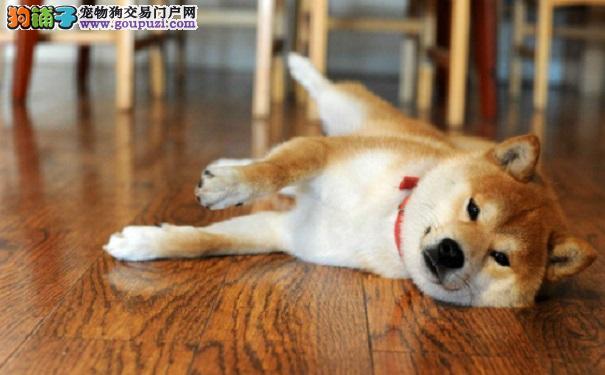 喂食秋田犬的过程中应该注意什么?5
