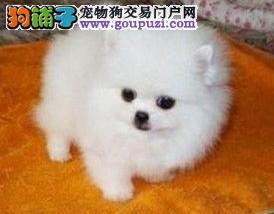 正规犬舍繁殖出售纯种博美犬 签订合法购犬协议