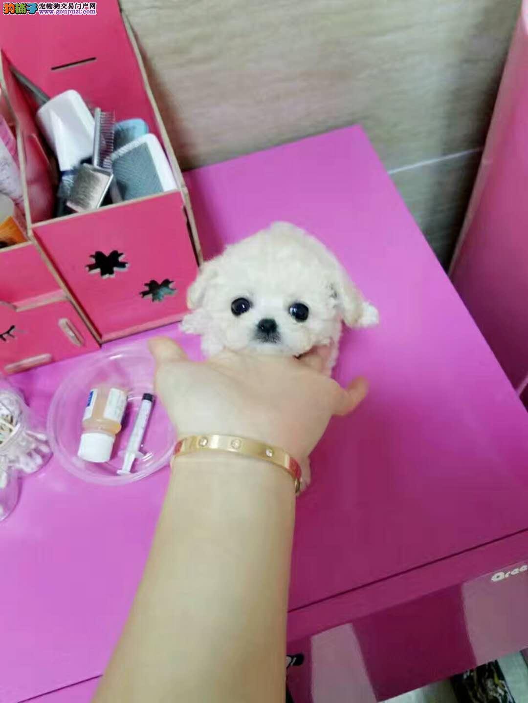 冰雪聪明韩系 大眼睛苹果脸 微小泰迪犬 玩具泰迪犬