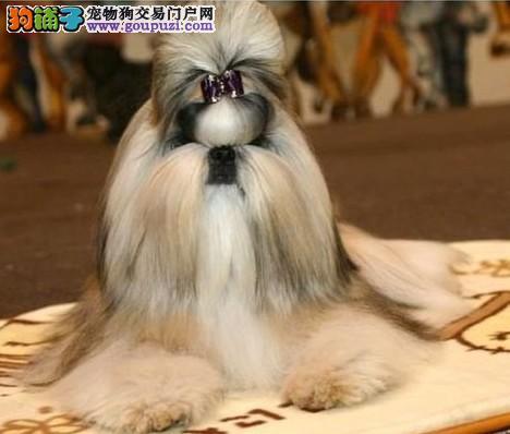 西施犬 纯种健康的西施幼犬出售