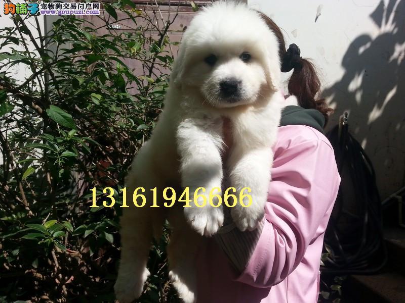犬舍直销大白熊 纯种大白熊 大白熊幼犬出售