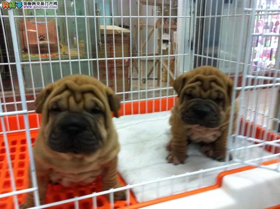 精品沙皮幼犬 纯种健康的沙皮幼犬出售